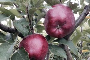 Яблоня Джонатан фото