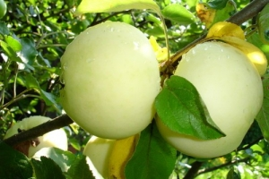 Яблоня Папировка фото
