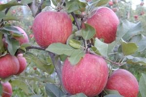 Яблоня Деличия фото