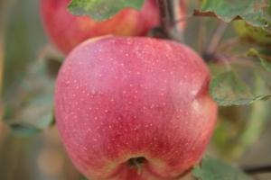 Яблоня Джоника фото