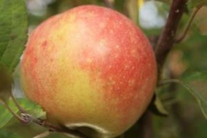 Яблоня Рубинетте фото