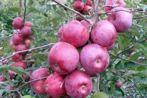Яблоня Флорина фото