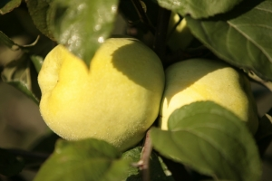 Яблоня Антоновка фото