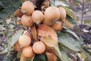 Яблоня Голден хорнет фото
