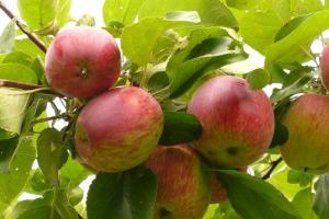 Яблоня Орловское полосатое фото
