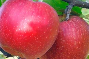 Яблоня Пинова фото