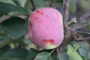 Яблоня Мекинтош фото