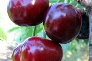 Черешня Крупноплодная фото
