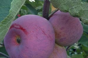 Яблоня Спартан фото