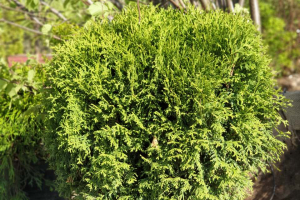 Туя Литл Гиант (Thuja occidentalis Little Giant)