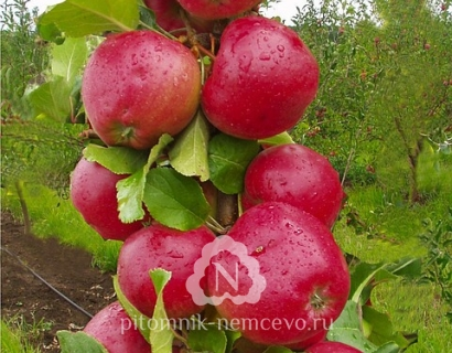 Яблоня Арбат колоновидная фото