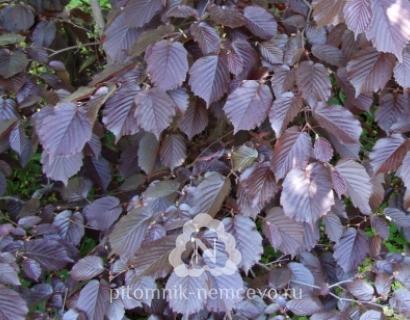 Лещина обыкновенная сорта Purpurea фото