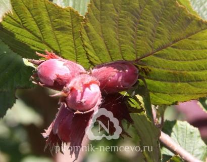Лещина обыкновенная сорта Fuscorubra фото