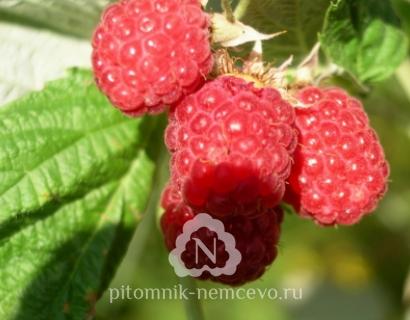 Малина Полка фото
