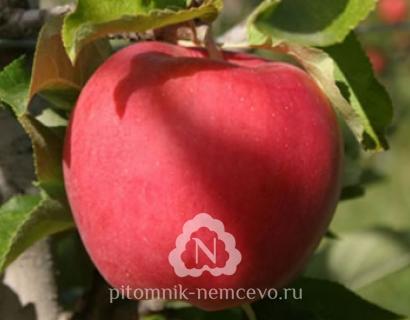 Яблоня Фаворит фото
