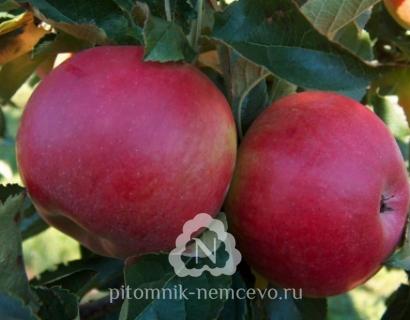 Яблоня Рубин Стар фото