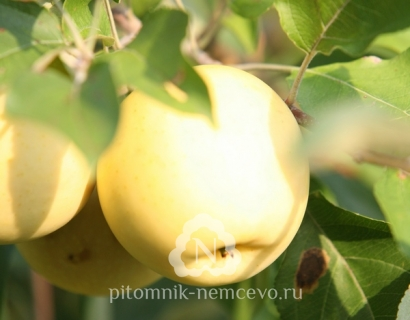 Яблоня Антоновка золотая фото