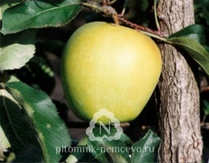 Яблоня Голден делишес фото