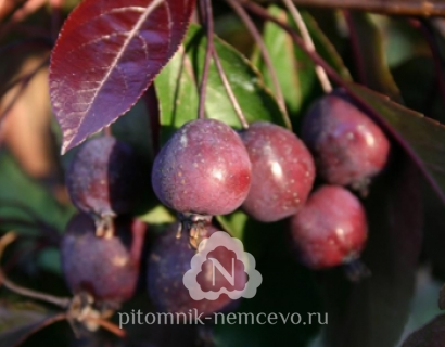 Яблоня Роялти (Malus Royalty) фото