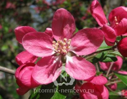 Яблоня Недзвецкого (Malus Niedzwetzkyana) фото