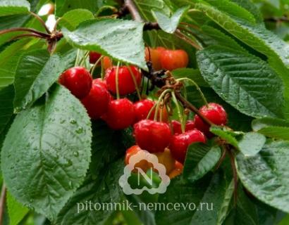 Черешня Московская розовая фото