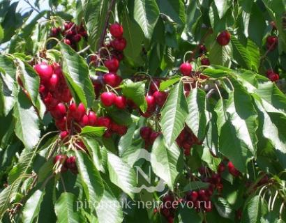 Черешня Регина фото