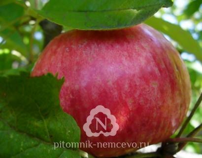 Яблоня Медуница фото