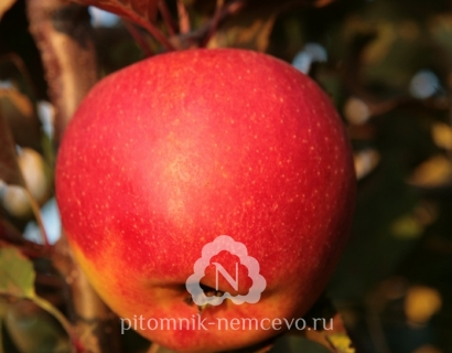Яблоня Амулет фото