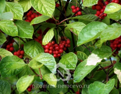 Лимонник китайский Schisandra chinensis (Turcz.)
