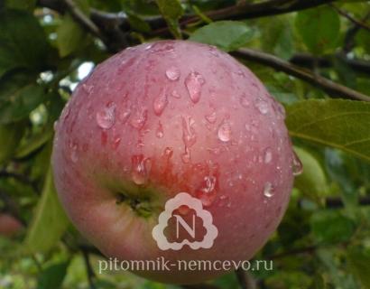 Яблоня Орлик фото