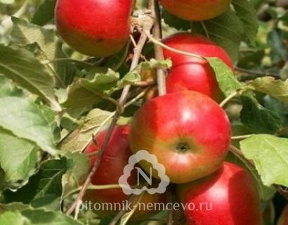Яблоня Останкино колоновидная фото