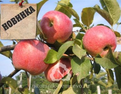 Яблоня Пирос фото