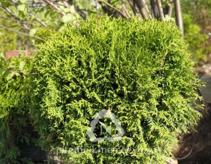 Туя Литл Гиант (Thuja occidentalis Little Giant)