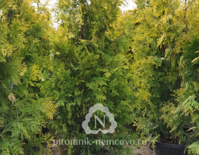 Туя Еллоу Риббон западная (thuja occidentalis Yellow Ribbon)