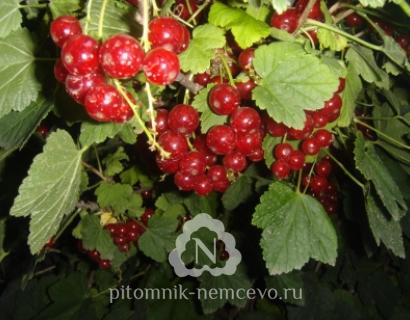 Смородина Уральская красавица фото