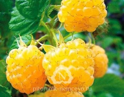 Малина Золотая осень фото
