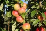 Яблоня Джин колоновидная фото