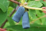 Жимолость Синичка фото