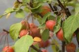 Яблоня Эверест (Malus evereste) фото