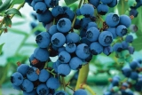 Голубика Блюкроп (Bluecrop) фото