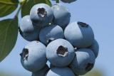 Голубика Беркли (Berkley) фото
