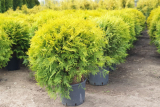 Туя Голден Глоб (Thuja occidentalis Golden Globe)