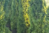 Туя Смарагд западная (thuja occidentalis Smaragd)