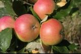 Яблоня Валюта колоновидная фото